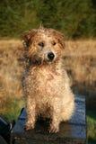 湿卷曲的狗 免版税库存照片