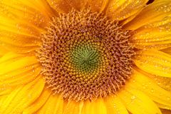 湿向日葵细节 免版税库存照片