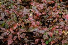 湿和发光的红色和绿色秋天叶子背景  免版税库存照片