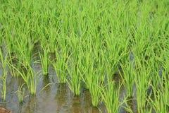 湿域绿色稻的风景 库存图片