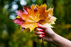 湿多彩多姿的叶子花束在一只美好的女性手上 库存照片