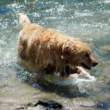 湿小河的狗 免版税库存图片