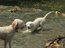 湿小狗使用 免版税库存图片