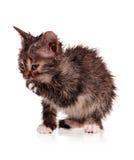 湿小猫 免版税库存照片