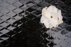 湿山茶花japonica下落的开花 免版税库存照片