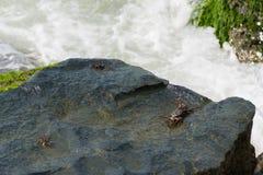 湿岩石表面上的黑螃蟹 图库摄影