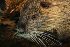 湿巨水鼠 库存图片