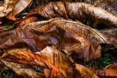 湿干燥香蕉叶子大角度看法  库存图片