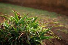 湿庭院芦荟在一个冬天早晨 免版税库存照片