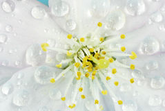 湿开花的樱桃 库存图片