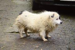 湿无家可归的狗 免版税库存照片