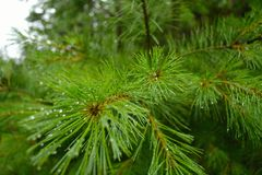 湿杉木针 库存图片