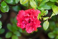 湿杜娟花印度Goyet,在红色开花的镶褶边的双重花  库存照片
