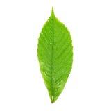 湿栗子绿色的叶子 免版税库存照片