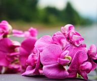 湿桃红色兰花 免版税图库摄影