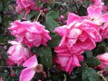 湿桃红色玫瑰在小雨中 库存图片