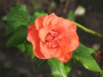 湿桔子玫瑰色花 免版税库存图片
