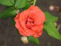 湿桔子玫瑰色花 免版税库存照片