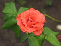 湿桔子玫瑰色花 免版税图库摄影