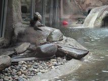 湿水獭为另一游泳做准备,他坐岩石围拢的岸 免版税库存图片
