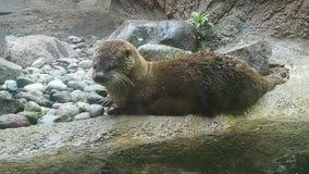 湿水獭为另一游泳做准备,他坐岩石围拢的岸 库存照片