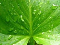 湿水芋属的叶子 免版税库存照片