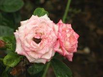 湿浅粉红色的玫瑰色花 库存照片