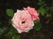 湿浅粉红色的玫瑰色花 库存图片