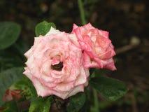 湿浅粉红色的玫瑰色花 免版税库存图片
