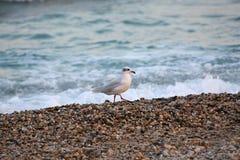 湿海向whith海鸟扔石头 免版税库存照片