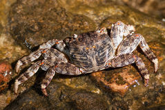 湿海螃蟹坐石头 库存图片