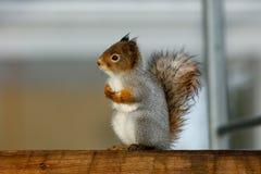 湿灰鼠申请从冬天雨的避难 库存图片