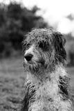 湿狗的headshot 库存图片