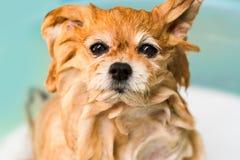 湿狗, Pomeranian,洗浴缸的巴恩 免版税库存照片
