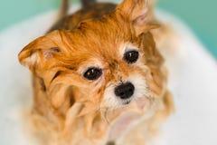 湿狗, Pomeranian,洗浴缸的巴恩 库存照片