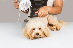 湿狮子狗毛皮吹干燥和新郎在阵雨以后在沙龙 免版税库存照片