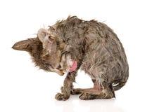 湿猫舔自己 背景查出的白色 免版税库存照片