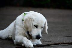 湿白色小狗 库存图片