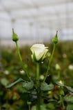 湿白色玫瑰在庭院里 免版税库存图片
