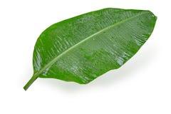 湿白色的香蕉叶子热带植物 库存图片