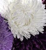 湿白色翠菊花特写镜头 库存图片
