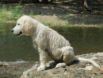 湿白色英国奶油色金毛猎犬小狗 免版税图库摄影