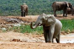 湿的大象 免版税库存照片