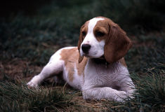 湿的小猎犬 免版税库存图片