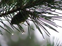 湿的杉木 库存照片