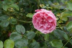 湿的淡粉红色 库存照片