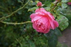 湿的淡粉红色 库存图片