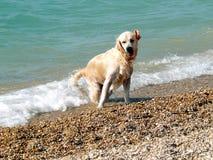 湿的狗 免版税库存照片