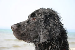 湿的狗 图库摄影