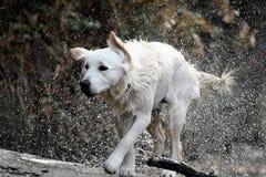 湿的猎犬 免版税库存照片